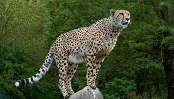 World Wildlife Day: 1952 ൽ വംശനാശം സംഭവിച്ച ചീറ്റപുലിയെ India Government തിരികെ കൊണ്ട് വരാൻ ഒരുങ്ങുന്നു