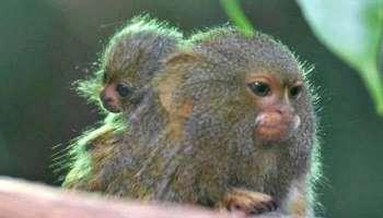 Monkey B Virus: കോവിഡിനു  പിന്നാലെ അടുത്ത ദുരന്തവുമായി ചൈന, ഏറെ അപകടകാരിയായ  Monkey B Virus പരിഭ്രാന്തി പടര്ത്തുന്നു...