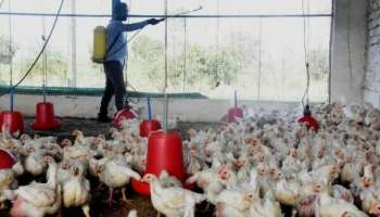 Koorachund Bird Flu: ആശങ്കയൊഴിഞ്ഞു, കൂരാച്ചുണ്ടിലേത് പക്ഷിപ്പനിയല്ലന്ന് പരിശോധനാ ഫലം