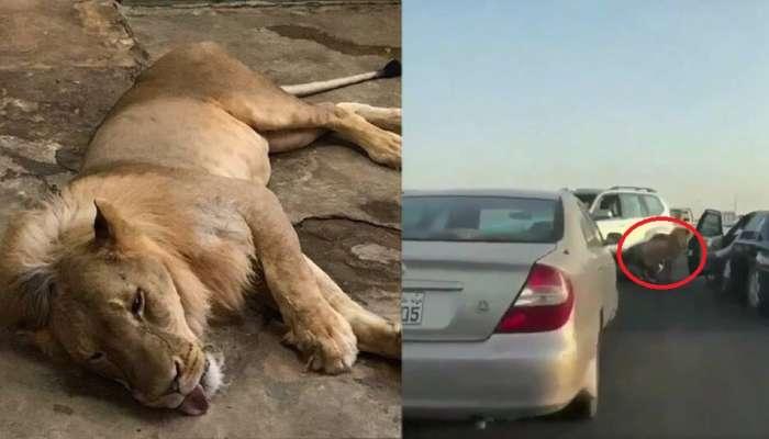 Viral Video: സൗദിയിലെ ഗൊറില്ലയ്ക്ക് ശേഷം കുവൈറ്റിലെ സിംഹം